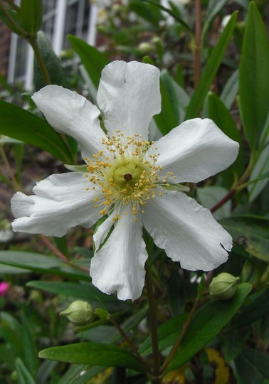 Carpenteria californica (close-up) - 2010 (Carpenteria californica)