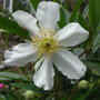 Carpenteria californica (close-up) - 2010 (Carpenteria californica)
