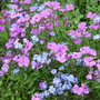 Aubrieta_myosotis