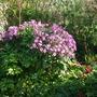 geranium maderense (geranium maderense)