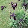 Iris chrysographes - 2010 (Iris chrysographes)