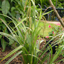 Carex pendula - settling-in (Carex pendula (Great Pendulous Sedge))
