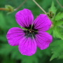 Hardy Geranium Psilostemon. (Geranium psilostemon (Armenian cranesbill))