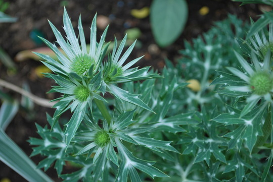 Eryngium bourgatii...... this could be Picos Amethyst.... (Eryngium bourgatii (Eryngium) Picos Blue)