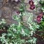 Geranium_phaeum_plant