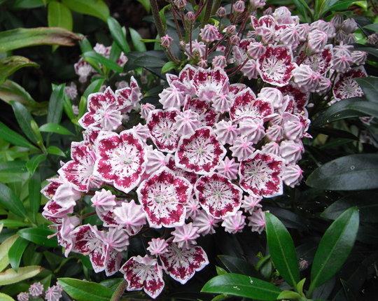 Kalmia latifolia 'Minuet' - 2010 (Kalmia latifolia)