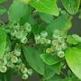 Vaccinium corymbosum (Blueberry)