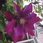 Another clematis grown in basket,