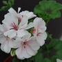 Pelargonium peltatum Blanche Roche.