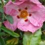 Pink_cistus