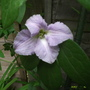 Clematis_viticella_betty_corning