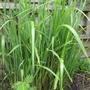 Zebra grass  (Miscanthus sinensis ' Zebrinus ' ) (Miscanthus zebrinus)