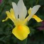 Dutch Iris (Iris)
