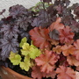 Pot of Heuchera ,s