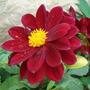 My flowers/Dahlia