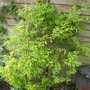Ligustrum undulata  ( Privet ) &#x27;Lemon &amp; Lime&#x27; (Ligustrum  undulata &#x27;Lemon &amp; Lime&#x27;)
