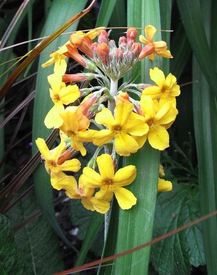Primula bulleyana - 2010 (Primula bulleyana)