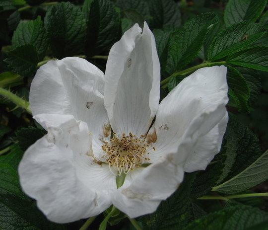 Rosa rugosa 'Alba' - 2010 (Rosa rugosa 'Alba')
