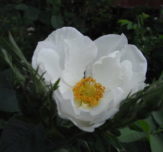 Rosa x alba Semi-plena - 2010 (Rosa x alba 'Semi-plena')