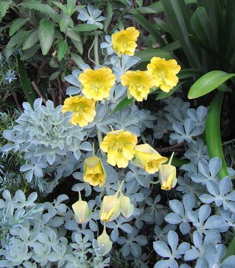 Tropaeolum polyphyllum - 2010 (Tropaeolum polyphyllum)