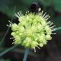 Allium_obliquum_2010