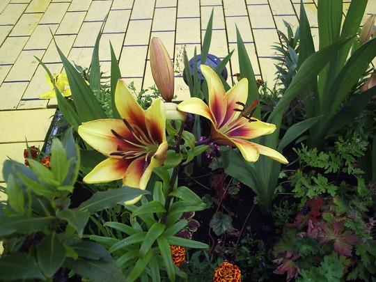 """Asiatic Lily """"Grand Cru"""""""