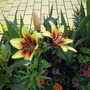 "Asiatic Lily ""Grand Cru"""