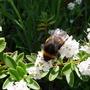 Bumble Bee on Hebe