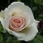 Rosa_swan_lake_
