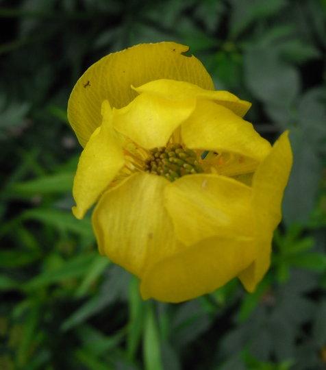 Trollius x cultorum 'Lemon Queen' - 2010 (Trollius x cultorum)