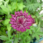 Astrantia major 'Claret' (Astrantia major (Masterwort))