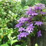 """Clematis """"The President"""""""
