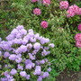 Azaleas and Rhododendrons of unknown variety