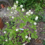 Forthergilla major (Fothergilla major (Fothergilla))
