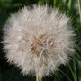 Unknown seed head