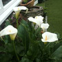 Arum Lily (Arum Lily)