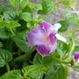 Torenia Rose Moon