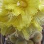 Cactus. (Nonocactus Lenin Hausii.)