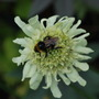 Cephalaria with friend...... (Cephalaria gigantea (Giant scabious))
