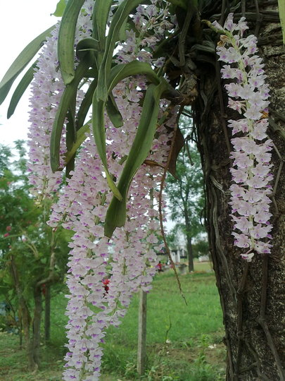 my lovely orchid