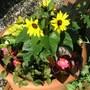 pot with dwarf sunflowers