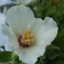 Philadelphus flower close-up. (Philadelphus)