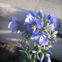 Jacob's Ladder (Polemonium caeruleum (Jacob's ladder))