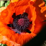 Papaver orientale (Papaver orientale (Oriental poppy))