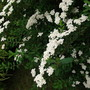 Close up of Spiraea - 'Arguta' (Bridal Wreath) (Spiraea Bridal Wreath)