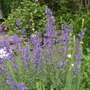 A garden flower photo (Nepeta x faassenii (Catmint))