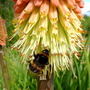 Bee Enjoying Red Hot Poker