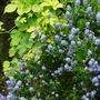 Golden Hop and Blue Ceanothus (Ceanothus burkwoodii (California lilac))