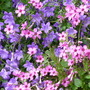 Campanula carpatica and pink Shamrock (Campanula carpatica (Bellflower))