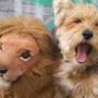 my dog lucky roaring like a lion,
